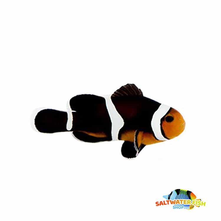 photon clownfish for sale