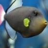 pink tail triggerfish for sale