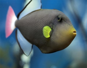 trigger fish for sale