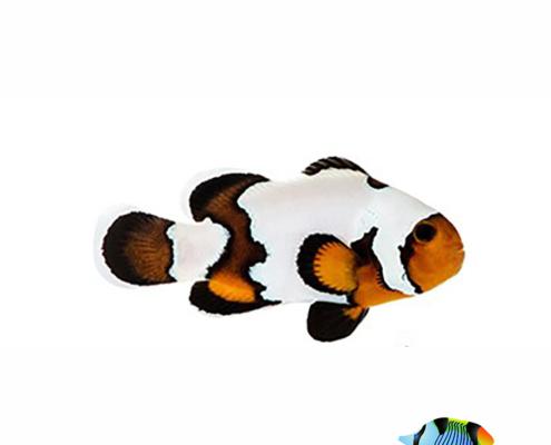 black ice clownfish