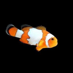 snowflake ocellaris clownfish