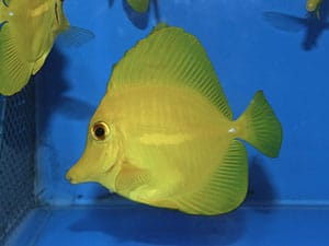 tang fish feeding