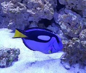tang fish size
