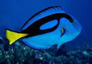tang fish tank mates
