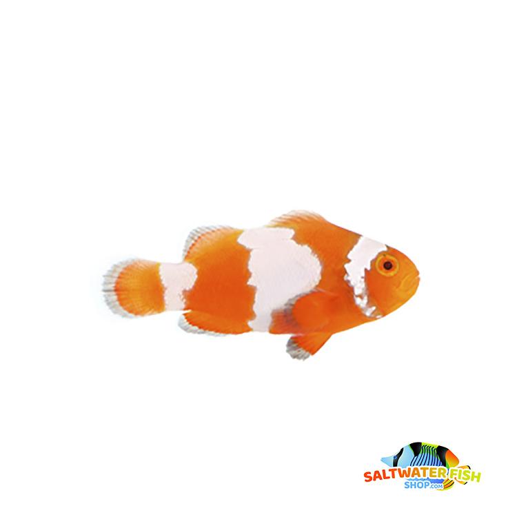 Tangerine Albino Snowflake clownfish