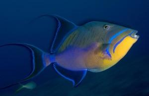 triggerfish care sheet