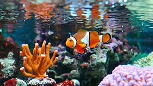 clownfish for sale