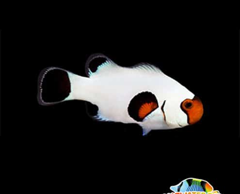 Wyoming white clownfish for sale