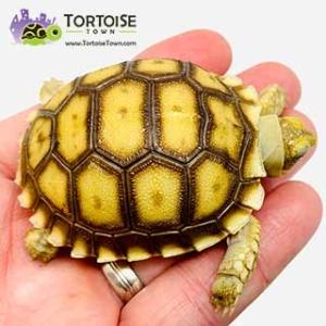 buy tortoise