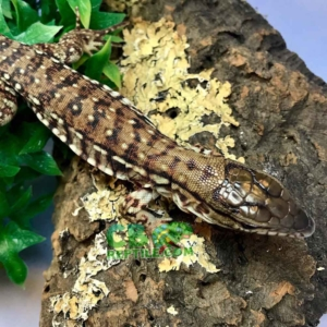 baby tegu for sale