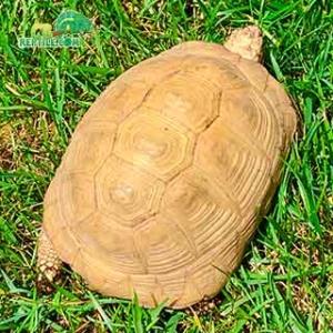 tortoise breeders near me