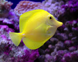 buy yellow tang near me