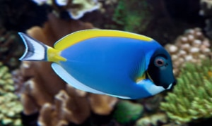 how to care for your powder blue tang