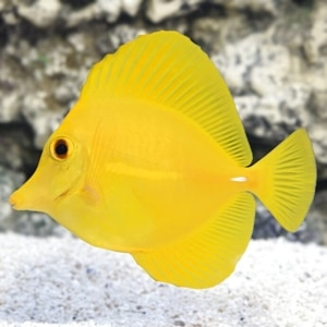 how to care for yellow tang