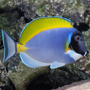 how to set up a powder blue tang fish tank