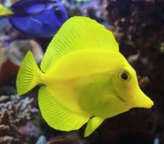 how to set up yellow tang fish tank