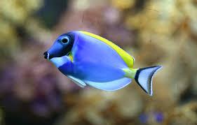 powder blue surgeonfish for sale
