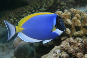 powder blue tang fish for sale
