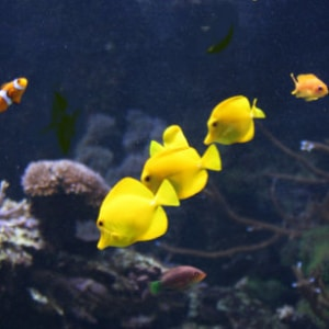 yellow surgeonfish for sale