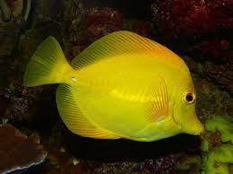 yellow tang care sheet