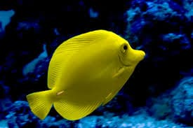 yellow tang for sale online