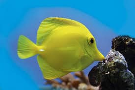 yellow tang lifespan
