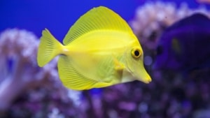 yellow tang origin