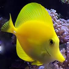 yellow tang size