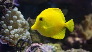 yellow tang tank size