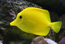 yellow tang tank