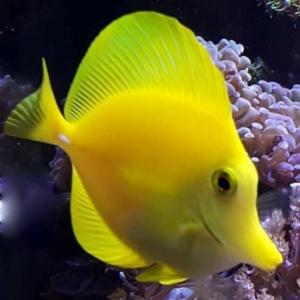 yellow tang water salinity