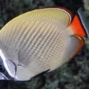 Pakistan Butterfly fish for sale