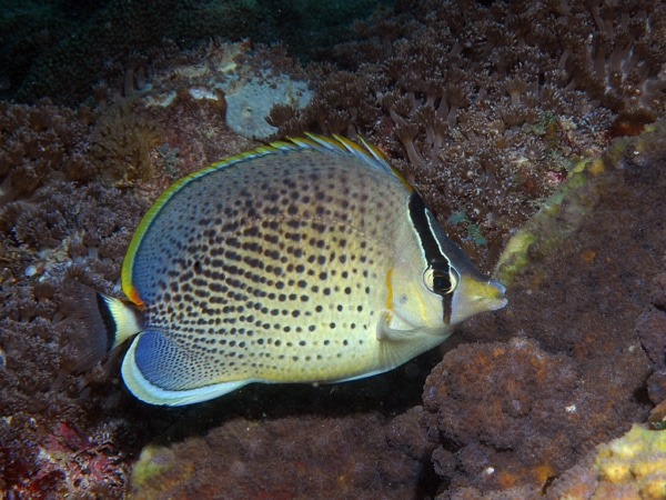 Pebbled butterfly fish