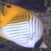 Auriga Butterfly fish for sale