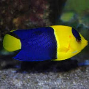 bicolor angelfish for sale