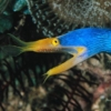 blue ribbon eel size