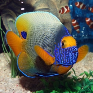 blueface angelfish for sale