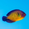 coral beauty angelfish for sale