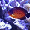 coral beauty angelfish for sale near me