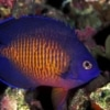 coral beauty fish for sale