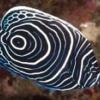emperor angelfish for sale