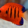 flame angel fish for sale