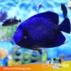 French Angelfish for sale