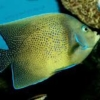 koran angelfish for sale