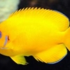 lemon peel angel fish for sale