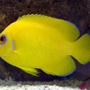 lemon peel angelfish for sale