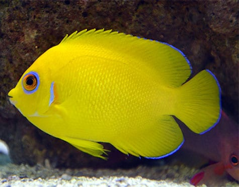 lemon peel angelfish for sale