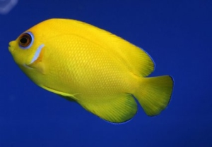 small angelfish