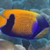 Majestic Angelfish