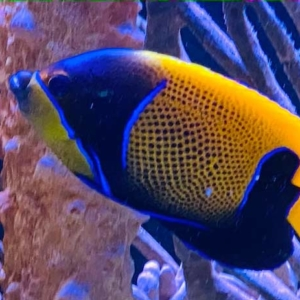 Majestic Angelfish for sale